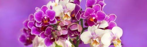 Flowers orchids Phalaenopsis. Stock Photos