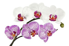 Flowers orchids on a white background Royalty Free Stock Photography