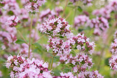 Flowers of Oregano Origanum vulgare. background Stock Image