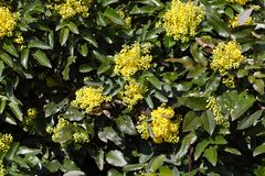 Flowers of a Oregon grape bush Stock Photo