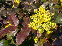 Flowers of Oregon grape in spring. Flowers of Oregon grape, Mahonia aquifolium, in spring Royalty Free Stock Photography