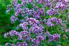 Flowers of origanum vulgare or common oregano, wild marjoram. Purple flowers of origanum vulgare or common oregano, wild marjoram royalty free stock image