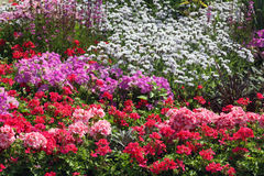 Flowers ornamental garden bed. Flowering summertime ornamental garden bed with pelargonium petunia and salvia flowers plants Stock Photos