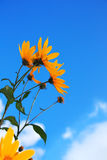 Flowers over blue. Yellow flowers over blue sky Royalty Free Stock Images