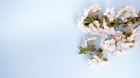 Flowers over blue table background. Backdrop with copy space royalty free stock photos