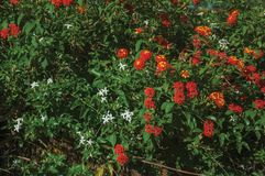 Flowers over a green leafy bush in a farm. Close-up of colorful flowers over a green leafy bush on sundown in a small farm near Elvas. A gracious star-shaped stock photography