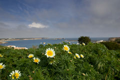 Flowers Overlooking Bay. Daisies overlooking the bay at Sagres, in the Algarve, Portugal Stock Photo