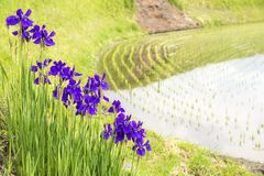 Flowers beside paddy field. Purple siberian iris flowers blooming beside paddy field Stock Photo