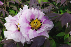 Flowers of pale pink peony stock photos