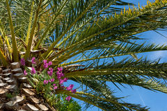 Flowers on palm tree. Picture of nice margenta flowers on palm tree Stock Images