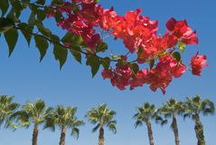 Flowers & Palms. Bright red flowers, palms on the background, blue sky Royalty Free Stock Photos