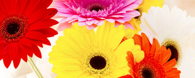 Flowers panorama of colorful gerber background Royalty Free Stock Photo