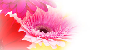 Flowers panorama of colorful gerber background Stock Photo