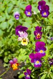 Flowers pansies. филетовые flowers pansies on a bed stock photo