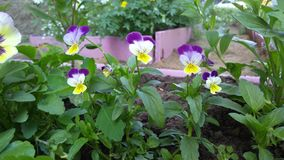 Flowers pansies, background, wallpaper Royalty Free Stock Images