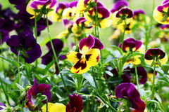 Flowers pansies Royalty Free Stock Photography