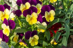 Flowers pansies for a natural background Royalty Free Stock Photography