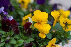 Flowers `pansies` in the spring. Time in the street in town, in the afternoon Royalty Free Stock Images