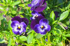 Flowers of pansies of violet on the garden stock photography