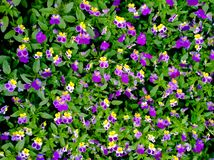 Flowers Pansies violet tri-color Royalty Free Stock Photography