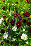 Flowers pansy in garden Royalty Free Stock Photo