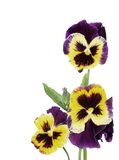 Flowers pansy Stock Image