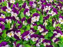 Flowers pansy top down beautiful field of green grass close up blurred as background in the nature purple and white color, panoram stock image
