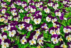 Flowers pansy top down beautiful field of green grass close up blurred as background in the nature purple and white color, panoram royalty free stock photography