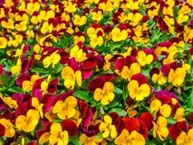 Flowers pansy top down beautiful field of green grass close up blurred as background in the nature yellow and red color, panorama. Flowers pansy top down stock image
