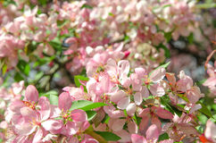 Flowers of paradise apple tree. Pink flowers of paradise apple tree. Spring time Stock Photography