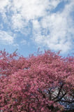 Flowers of paradise apple tree. Pink flowers of paradise apple tree. Spring time Royalty Free Stock Images