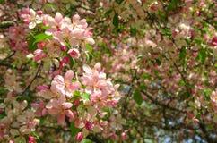 Flowers of paradise apple tree. Pink flowers of paradise apple tree. Spring time Stock Image