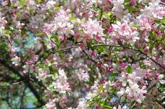 Flowers of paradise apple tree. Pink flowers of paradise apple tree. Spring time Royalty Free Stock Photo