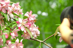 Flowers of paradise apple tree. Pink flowers of paradise apple tree. Spring time Royalty Free Stock Photography