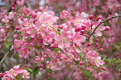 Flowers of paradise apple tree vertical orientation. Pink flowers of paradise apple tree. Spring time Royalty Free Stock Photo