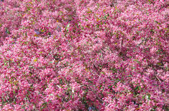 Flowers of paradise apple tree vertical orientation. Pink flowers of paradise apple tree. Spring time Stock Photo