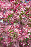 Flowers of paradise apple tree vertical orientation. Pink flowers of paradise apple tree. Spring time Stock Photography