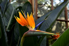 Flowers paradise bird Royalty Free Stock Photo