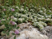 Flowers of Paronychia argentea on sandy rocky place. Desert Israel sunny close up blooming plants of silvery whitlow. Wort silver Nailroot. Karmiel Israel royalty free stock photos