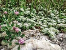 Flowers of Paronychia argentea on sandy rocky place. Desert Israel sunny close up blooming plants of silvery whitlow. Wort silver Nailroot. Karmiel Israel stock photos