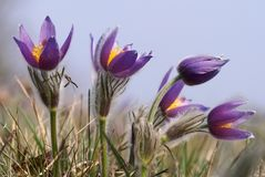 Flowers of pasqueflower Royalty Free Stock Image