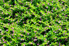 Flowers and pattern of Cupheaignea Royalty Free Stock Image