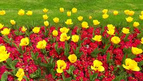 Spring yellow tulips. Flowers pattern of the yellow and red flowers in the garden stock video footage