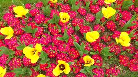 Flower pattern of the spring. Flowers pattern of the yellow and red flowers in the garden stock footage