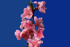 Flowers peach. Branch of a blossoming peach tree Stock Images