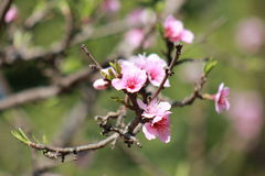 the flowers of a peach tree Royalty Free Stock Image