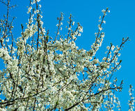 Flowers of the peach tree Royalty Free Stock Photos