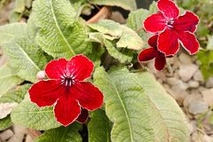 Deep Red Blooms. Flowers at the peak of bloom, having deep and brilliant red flowers; trimmed in white accent Stock Photos