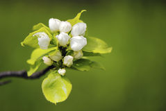 Flowers pear Royalty Free Stock Photography
