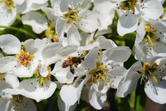 Flowers of a pear with a bee Stock Photography